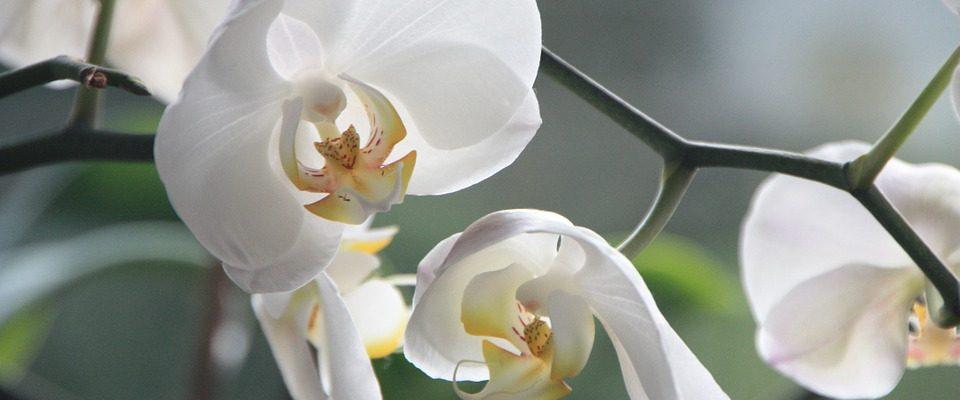 chyby při pěstování orchidejí