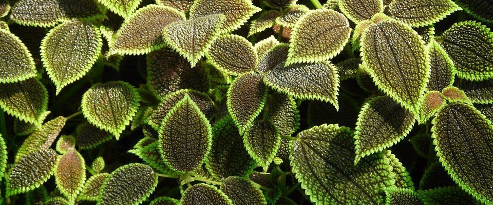 Otužilé pokojové rostliny