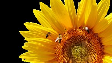Včelí pyl